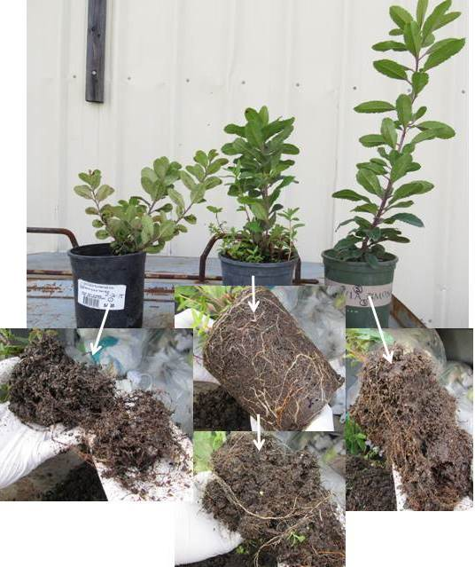 Shoots Top And Corresponding Root Systems Bottom Of Three Live Nursery Grown Toyons With Phytophthora Rot All Plants Tested Positive For P